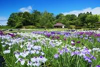 秋田県 小泉潟公園菖蒲園