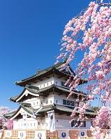 青森県 桜と弘前城(工事のため移設中・16年4月)