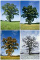 ナラの木 定点観測