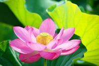 埼玉県 ハスの花