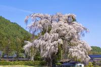 長野県 北小倉の桜