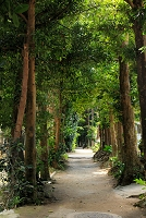 沖縄 備瀬のフクギ並木