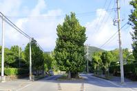 沖縄県 久米島 真謝のチュラフクギ
