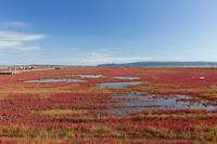 北海道 能取湖サンゴ草群落地