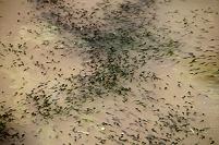 オタマジャクシの群れ