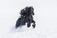 馬  フリージアン種