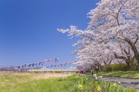 岩手県 北上展勝地の桜と鯉のぼり
