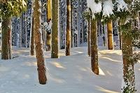 雪の杉林の光と影