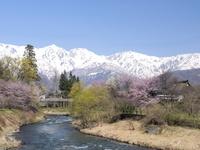 長野県 白馬村 大出公園の桜と白馬連峰
