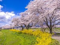 宮城県 一目千本桜と菜の花