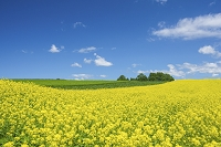 北海道 菜の花咲く丘