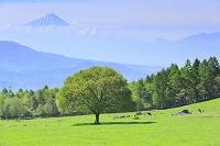 山梨県 八ヶ岳牧場 新緑のヤマナシの木と富士山