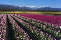 富山県 チューリップ畑と立山連峰