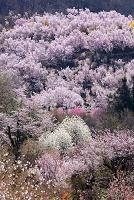 福島県 花見山公園 ハクモクレンとトウカイザクラ