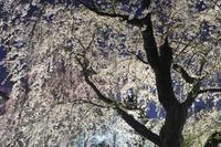 京都府 ライトアップされた京都府立植物園桜林のしだれ桜