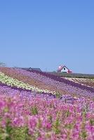 北海道 クレオメ咲く四季彩の丘