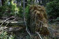滋賀県 台風で倒れた樹木