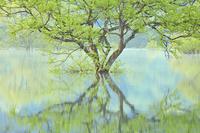 山形県 朝日を浴びる白川湖の水没林