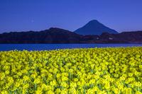 鹿児島県 夜の菜の花咲く池田湖と開聞岳