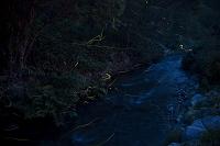 長野県 志賀高原 石の湯 蛍