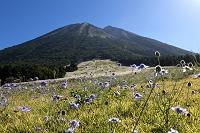 鳥取県 桝水高原のマツムシソウと大山