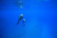 小笠原諸島 嫁島 ミナミハンドウイルカの親子