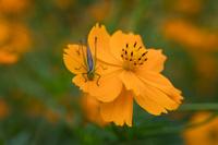コスモスの花とキリギリス