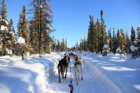 アメリカ合衆国 アラスカ 犬ぞり