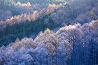 長野県 降霜のカラマツ林