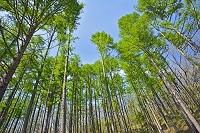 山梨県 新緑のカラマツ林