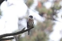 アカハラダカの雌 成鳥