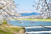 宮城県 白石川堤千本桜と蔵王連峰