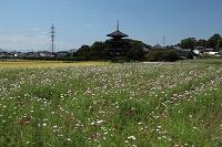 奈良県 斑鳩町 法起寺とコスモス