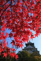 大阪府 大阪城と楓紅葉