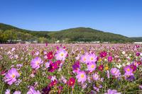 コスモス咲く大曲湖畔園地