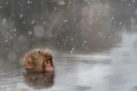 長野県 地獄谷 温泉に入るニホンザル