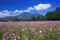 福島県 コスモスと磐梯山