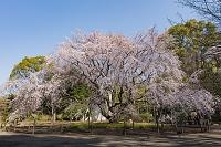 東京都 六義園のしだれ桜