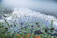 広島県 八幡湿原 スイレン