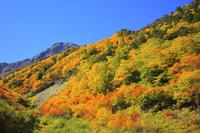 山梨県 広河原から大樺沢への登山道から望む紅葉樹林と北岳
