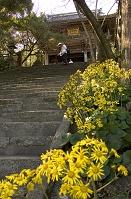 高知県 四国霊場第31番 竹林寺 ツワブキの花とお遍路さん