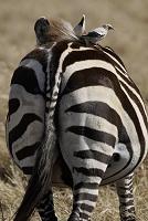 ケニア マサイマラ国立保護区 グラントシマウマと小鳥