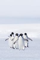 南極大陸 アデリーペンギン